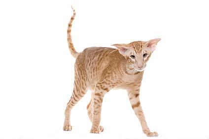 Die Siam-katze als Haustier