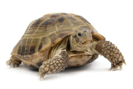 Haustier Schildkröte