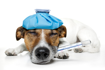 leptospirose hund symptome