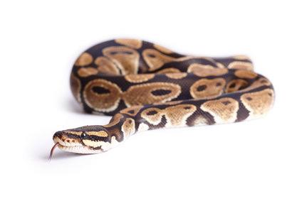 Der Königspython die Schlange