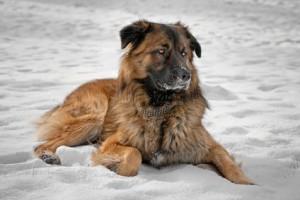 Kaukasischer Hirtenhund im Winter