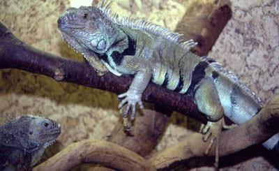 Gruene-Leguane-peter-hoffmann