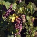 Weintrauben am Rebstock blau