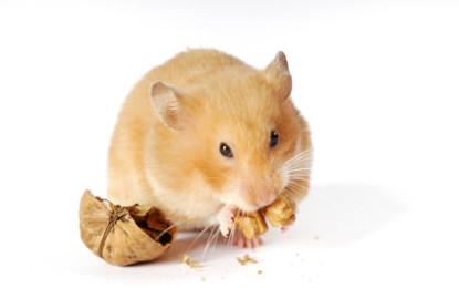 Was man über Hamster wissen sollte
