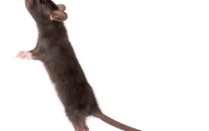 Zehn Vorurteile über Ratten