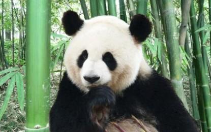 Stirbt der Große Panda bald aus?
