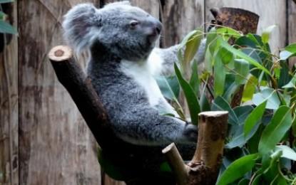 Der kleine Koalabär