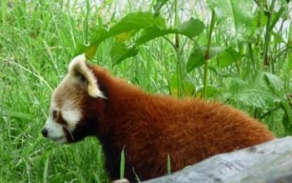 Das schönste Säugetier auf Erden: Der Rote Panda