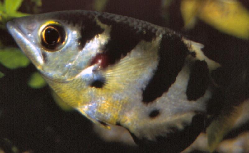 Schuetzenfisch