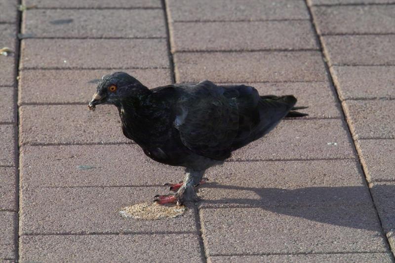 Taube auf Marktplatz