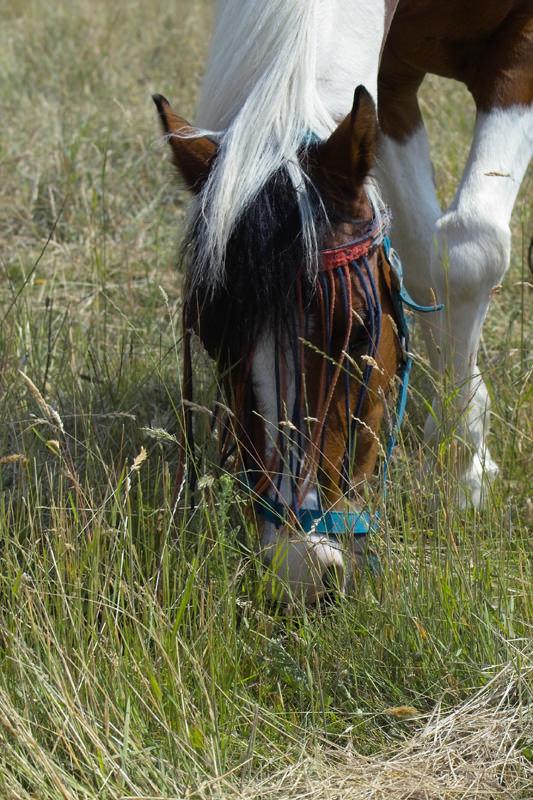Pferd grasend mit Fliegenschutzmaske