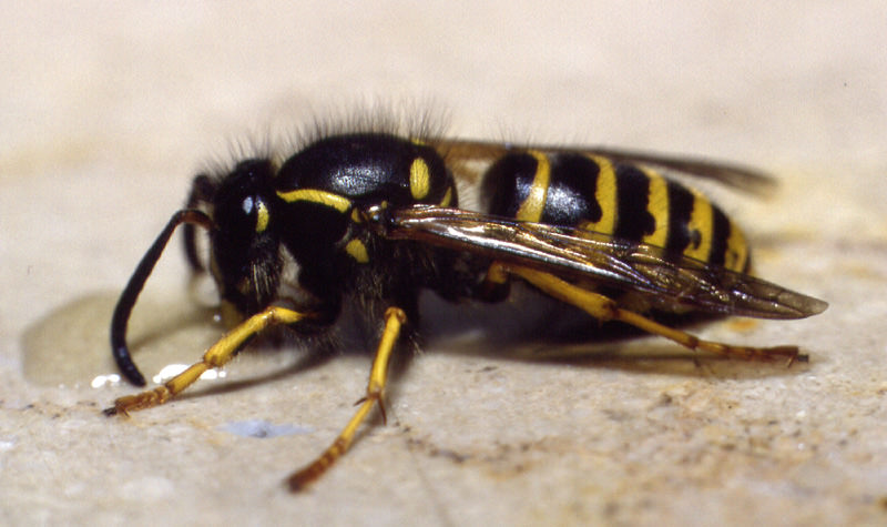 Wespe an Honigtropfen