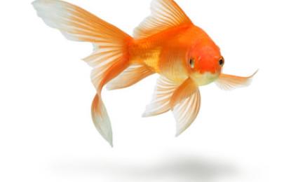 Goldfisch & Co.: Eine Liebesbeziehung der ganz besonderen Art