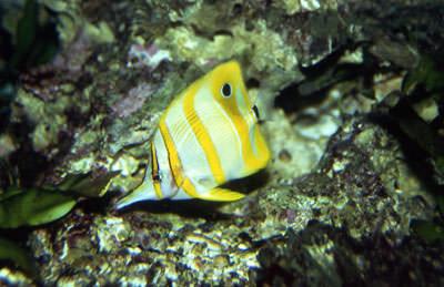Pinzettfisch