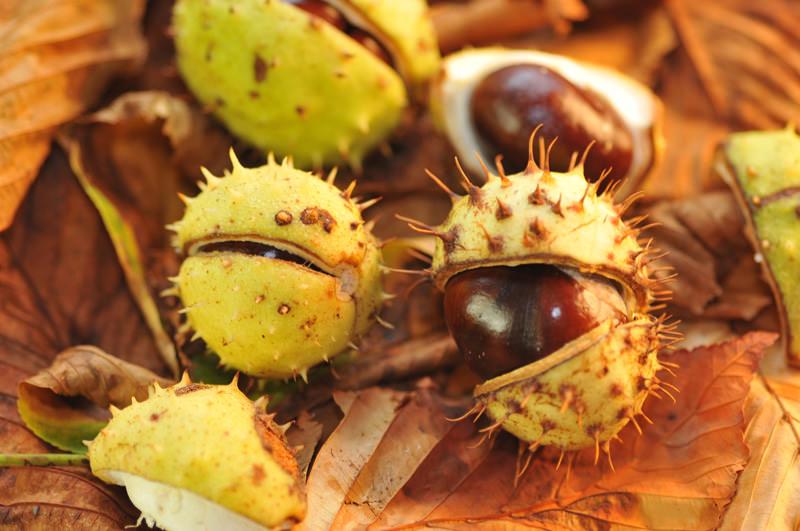 Herbstwald Rosskastanien