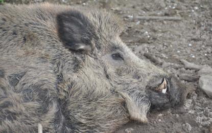 Von gefährlichen Wildscheinen und heute seltenen Hausschweinen