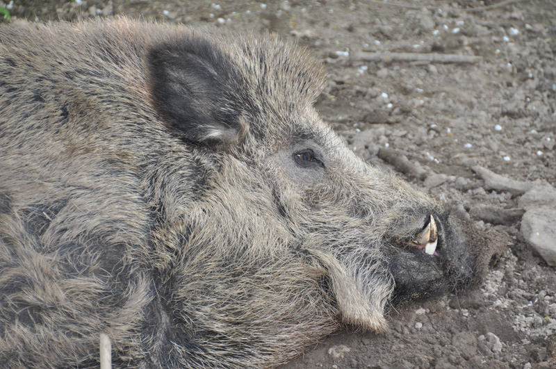 Wildschwein liegend Eckzaehne