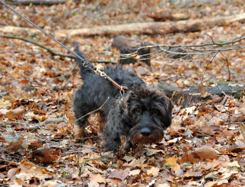 Dackel im Unterholz