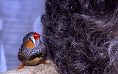 Klein, beliebt, aber nicht ohne: Der Zebrafink!