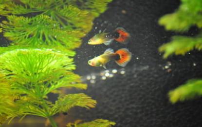 Die beliebtesten Aquarienfische im heimischen Wohnzimmer