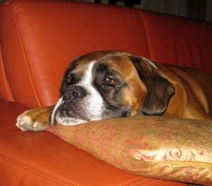 Bello allein zu Hause – Trennungsangst bei Hunden