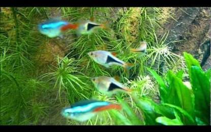 Keilfleckbarben: Friedliche Schwarmfische, die auch den Aquarienpflanzen nicht schaden