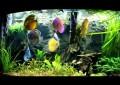 Der Diskus: Ein majestätischer Buntbarsch im Aquarium