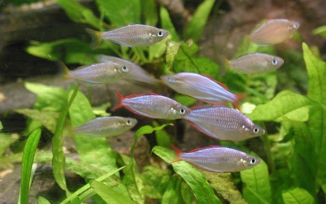 Aquarienfische für Anfänger