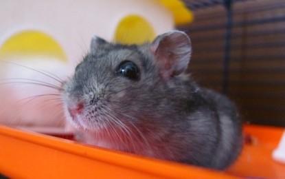 Hamsterhaltung – 5 wissenswerte Fakten