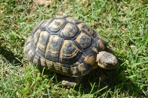 Landschildkröten überwintern