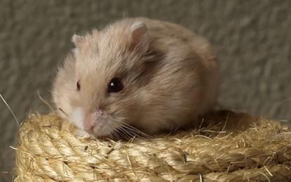 Sind Hamster Einzelgänger?