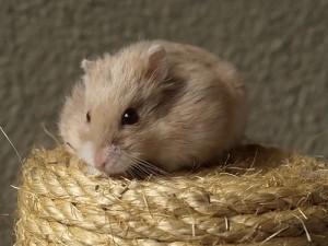 Hamster Einzelgänger