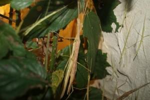 Stabheuschrecken