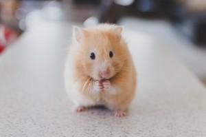 Hamster beschaeftigen