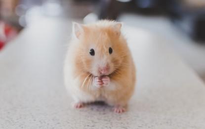 Hamster beschäftigen – Ideen für mehr Abwechslung