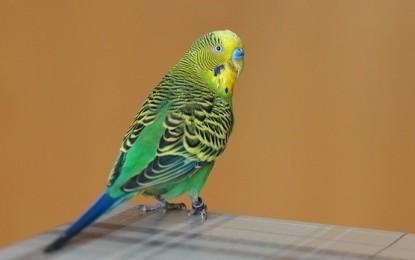 Wellensittich-Namen – Ideen für schöne Vogelnamen