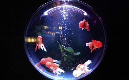 Goldfisch im Glas – 5 Gründe, warum es Tierquälerei ist