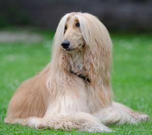 Afghane Hund