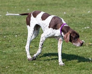 English-Pointer