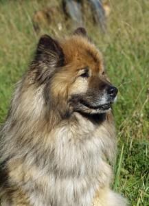 Eurasier Hund
