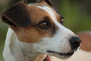 Jack Russell Hund