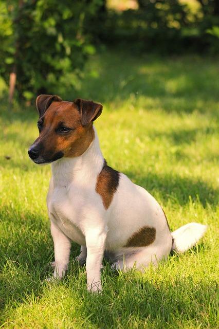 Jack Russell Terrier Der kleine Hund mit der großen