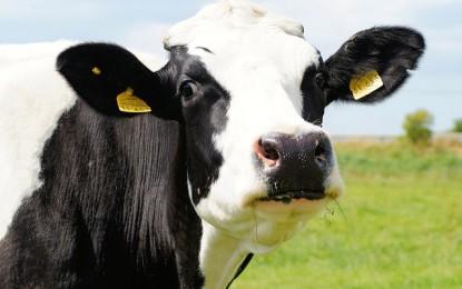 Kuh mit Loch – das steckt dahinter