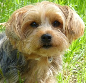 Yorkshire Terrier Hund