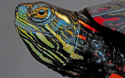 Kleinbleibende Wasserschildkröten – 3 beliebte Arten