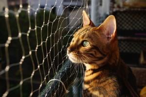 Bengale Katze