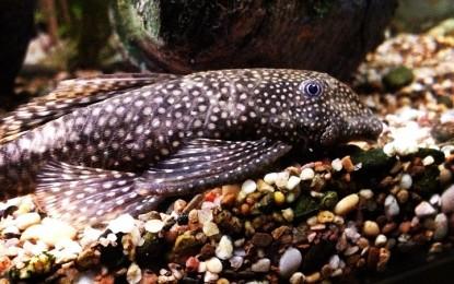 Fensterputzer-Fisch- Wissenswertes über den Wels