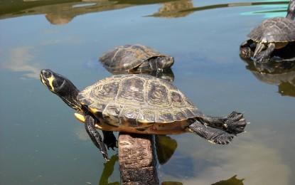Gelbwangenschildkröten – Haltung richtig gemacht
