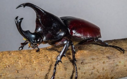 Nashornkäfer – interessante Fakten zum krabbelnden Insekt