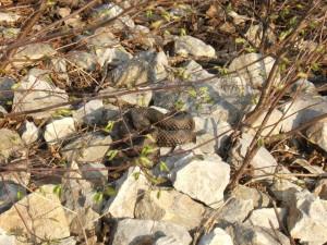 Schlangen am Gardasee
